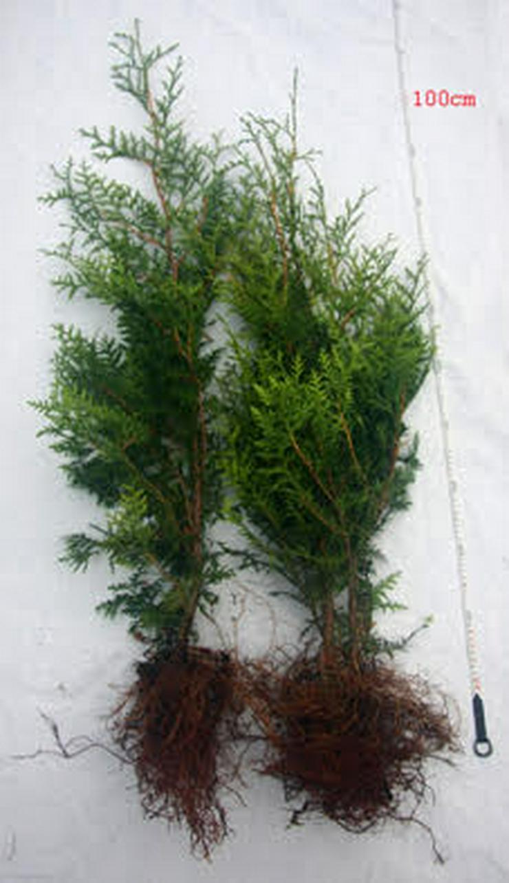 Thuja Brabant 60-80 cm Lebensbaum Brabant - Heckenpflanzen boden ohne Wurzelballen