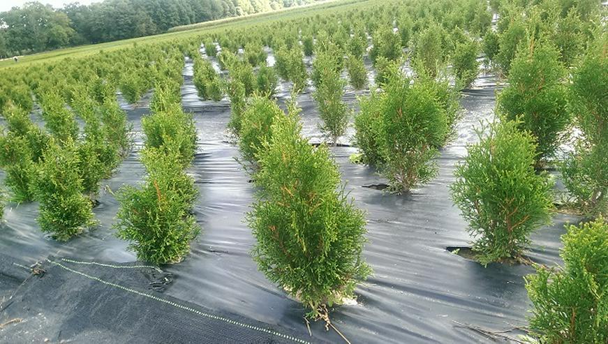 Thuja Smaragd 30-50 cm Lebensbaum Smaragd - Heckenpflanzen boden ohne Wurzelballen