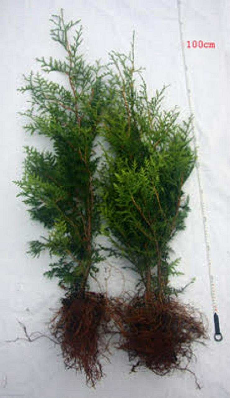 Thuja Brabant 50-70 cm Lebensbaum Brabant - Heckenpflanzen boden ohne Wurzelballen
