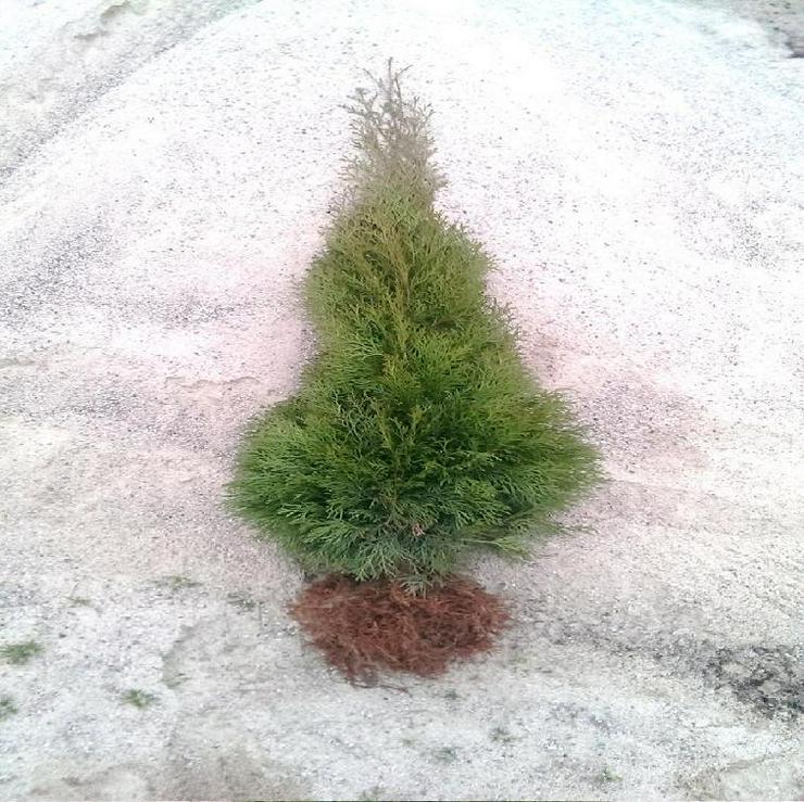 Thuja Smaragd 70-90 cm Lebensbaum Smaragd - Heckenpflanzen boden ohne Wurzelballen