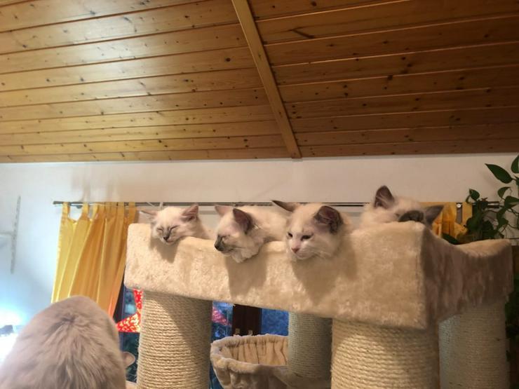 Ragdoll - Kitten / Ragdoll - Babys/ Unsere Kitten sind da!