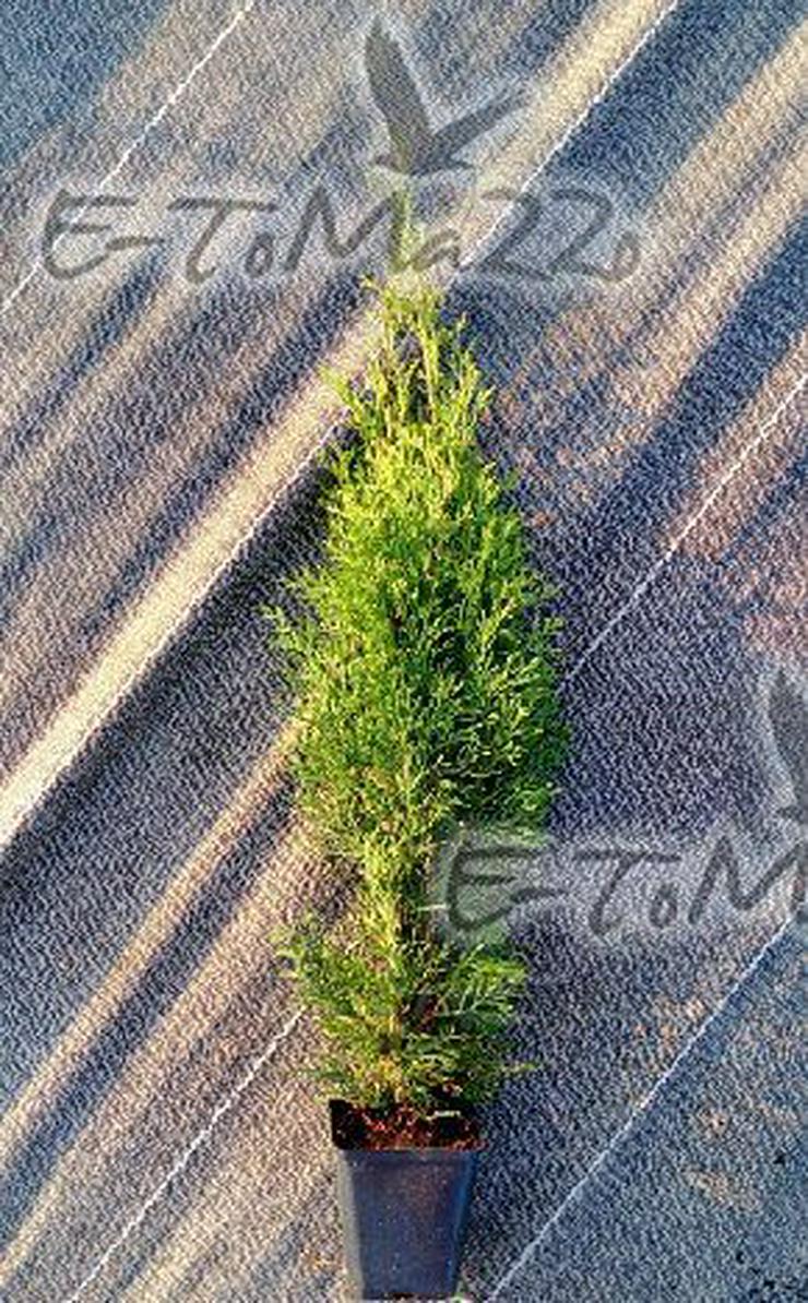 Thuja Smaragd 45-65 cm Tuja Szmaragd Topf 1 L