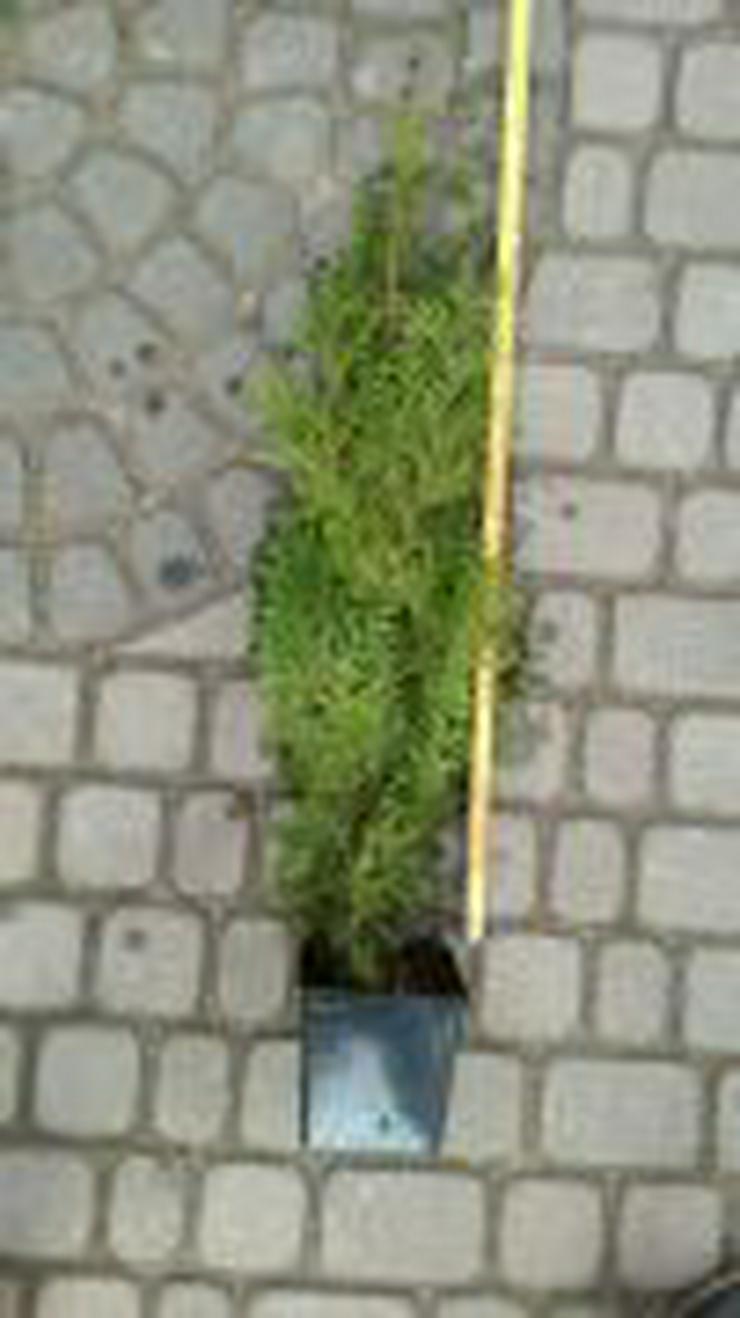 THUJA BRABANT 20-40CM 0.7L TOPF 54EURO/30STUCK VERSAND KOSTENLOS - Pflanzen - Bild 1