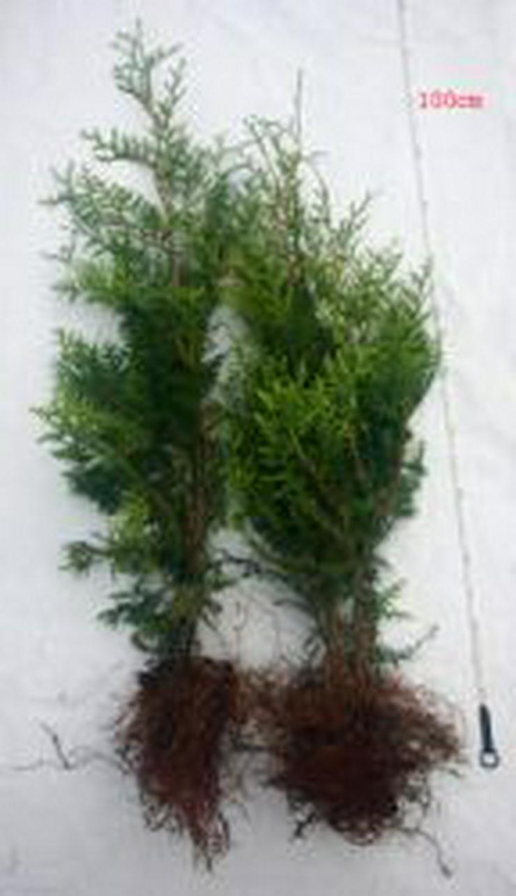 Thuja Brabant 70-90 cm Lebensbaum Brabant - Heckenpflanzen boden ohne Wurzelballen - Pflanzen - Bild 1