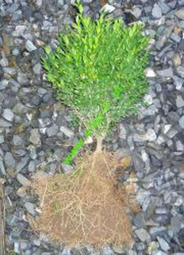 Buchsbaum Buxus 25 cm Produzent - Unsere Transport