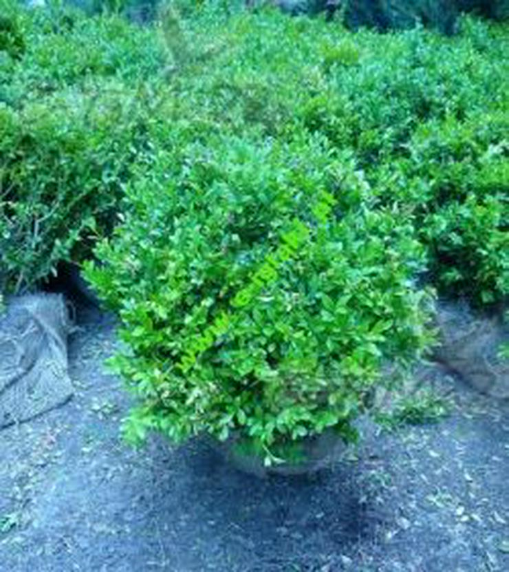 Buchsbaum Mit Einen Durchmesser von 50-70 cm