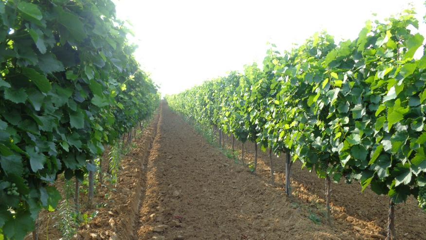 Bild 5: Familienweingut und Weinkeller zu verkaufen oder zu vermieten