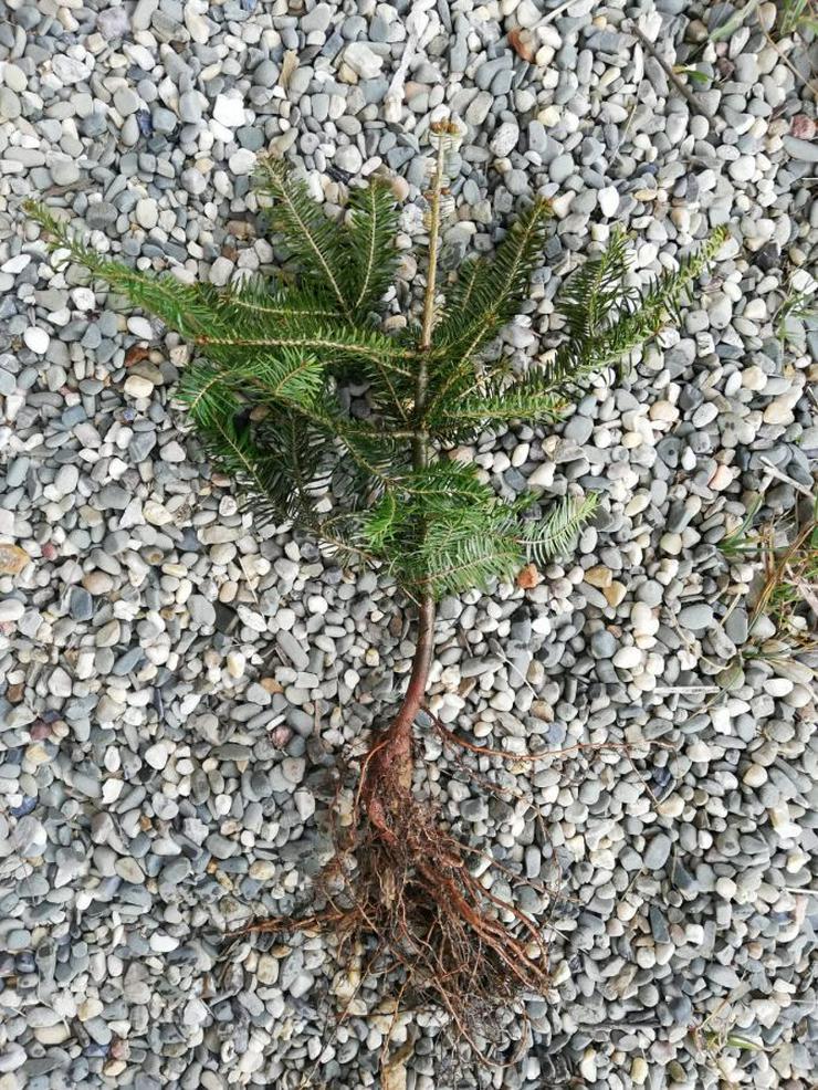 Bild 3: Weihnachtsbäume für wurzelnackte Plantagen