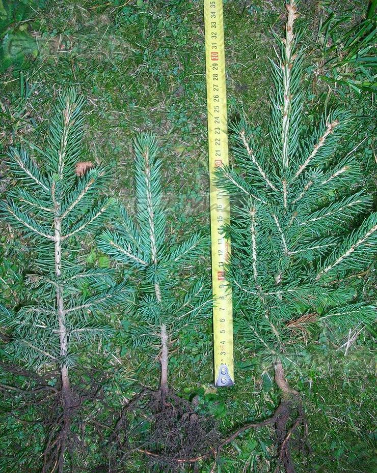 Bild 2: Weihnachtsbäume für wurzelnackte Plantagen