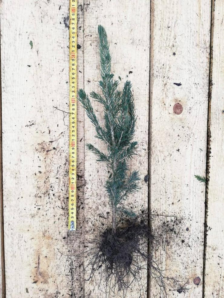 Bild 5: Weihnachtsbäume für wurzelnackte Plantagen