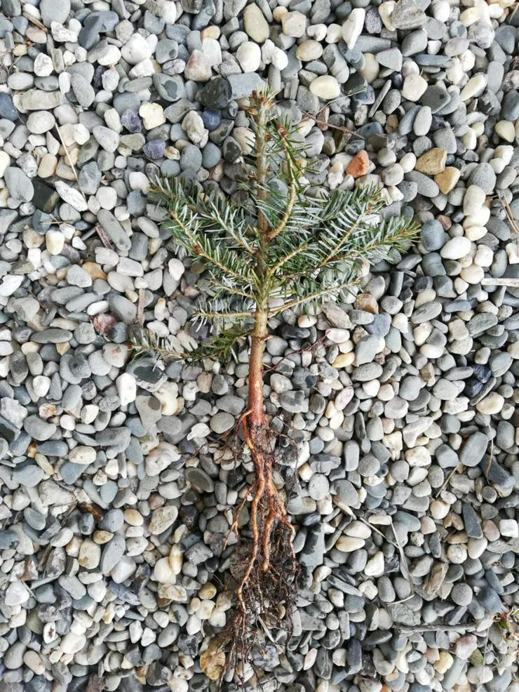 Weihnachtsbäume für wurzelnackte Plantagen