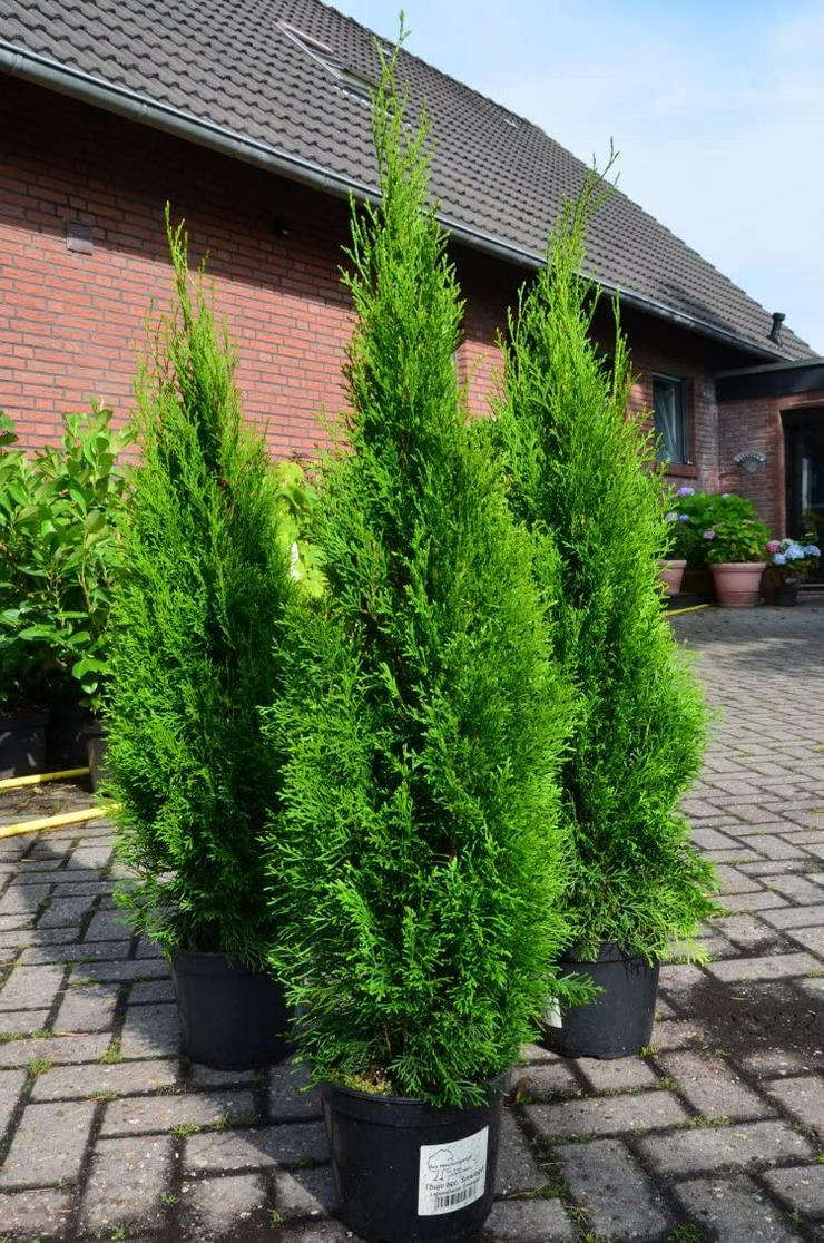 100 Stk.Edel Thuja Smaragd Hecke Pflanze Alles für Ihren Garten