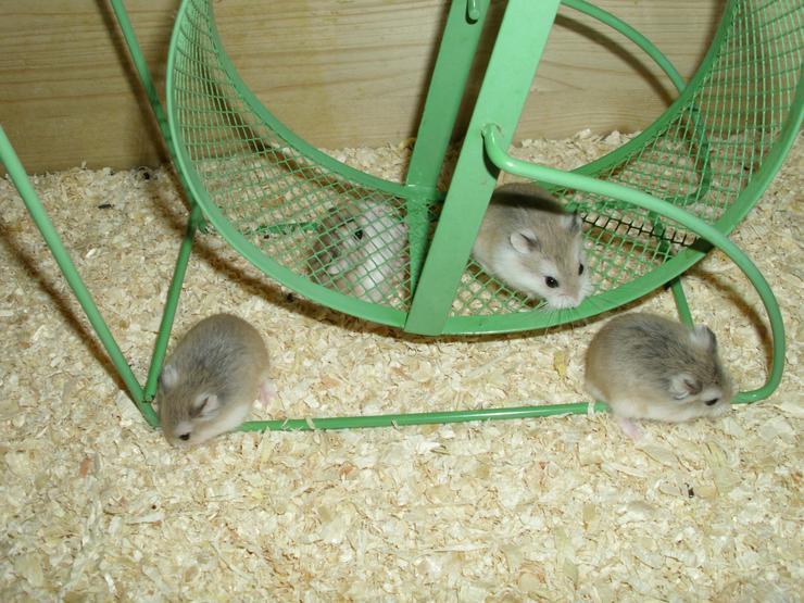 Laufrad für Hamster, Hamsterrad für Zwerghamster