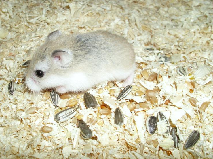 Neuer Wurf Zwerghamster zur Abgabe. Junge Hamster