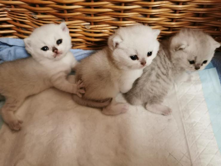 Bkh Kitten Reinrassig in liebevolle Hände abzugeben Blutgruppe A