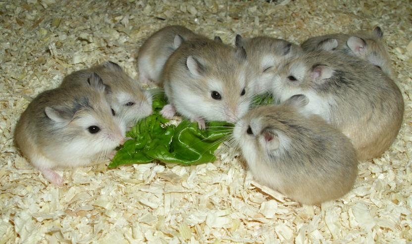 Junge Roborowski Zwerghamster, kleine Hamster