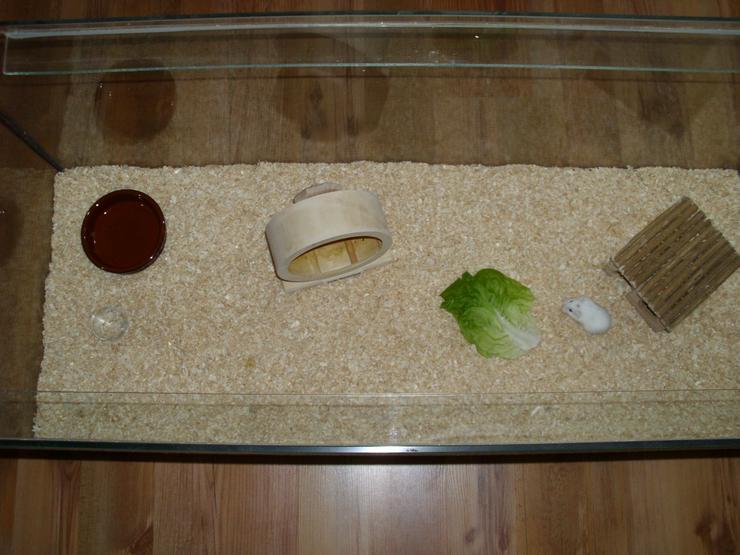 Weißer Zwerghamster mit Terrarium 100x40x40 mit Laufrad. Hamster Männchen mit viel Zubehör