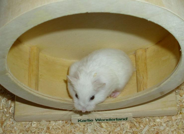 Weißes Zwerghamster Weibchen, Hamster, jung, weiblich