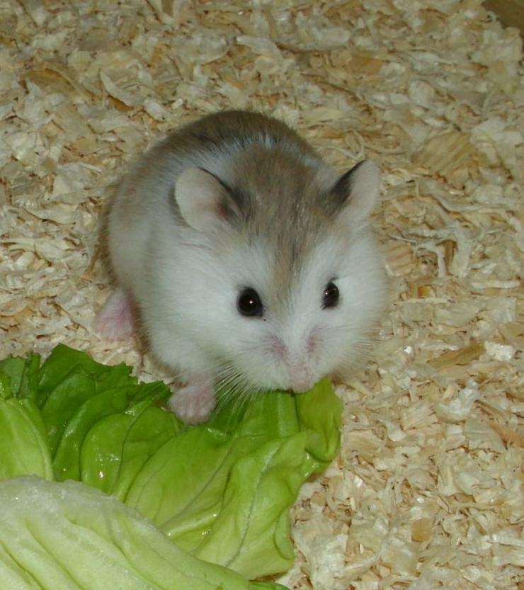 Geschecktes Zwerghamster Weibchen, Hamster weiblich jung