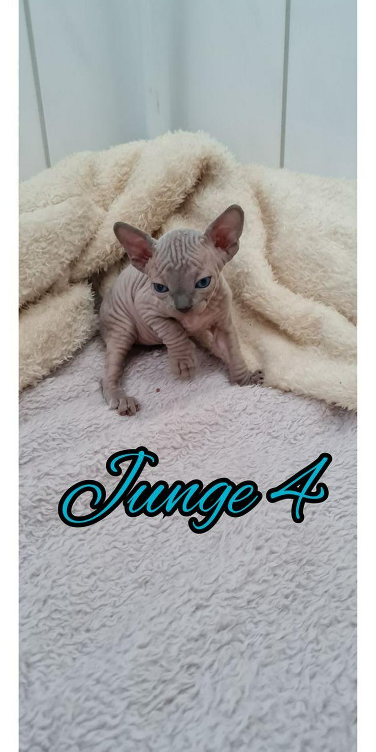 Bild 4: Sphinx Katze