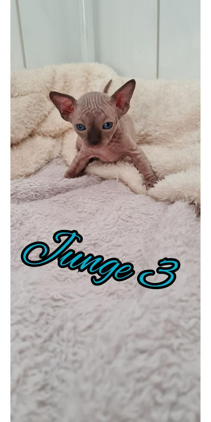 Bild 3: Sphinx Katze