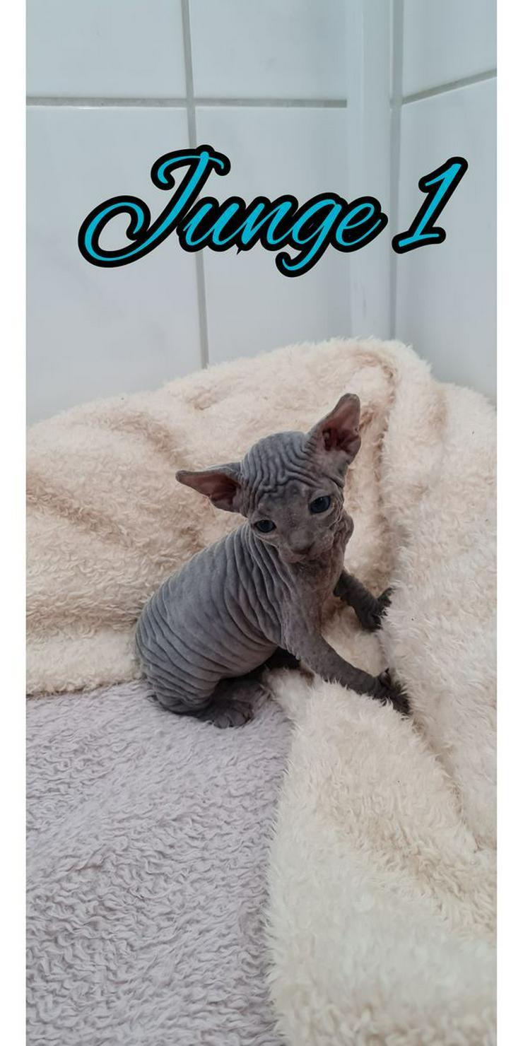 Bild 2: Sphinx Katze