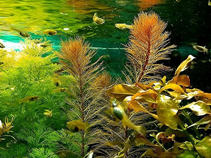 Rotes Mato Grosso Tausendblatt, Wasserpflanzen, Versand - Aquarien Zubehör - Bild 1