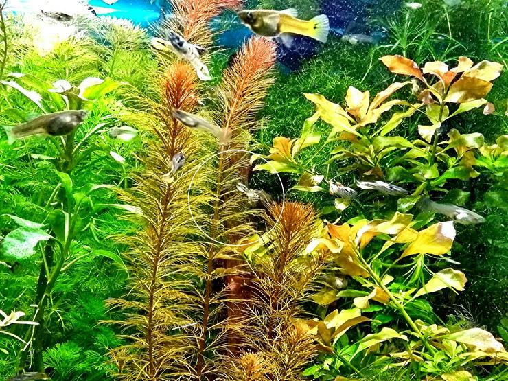 Bild 6: Rotes Mato Grosso Tausendblatt, Wasserpflanzen, Versand