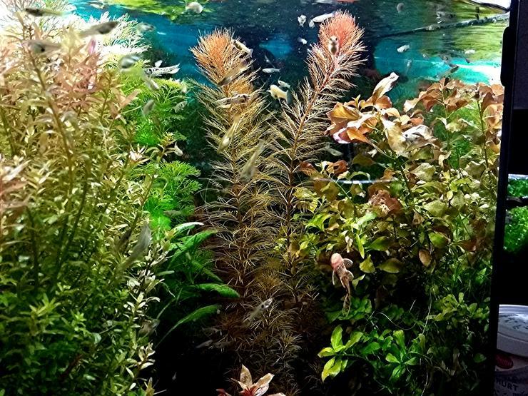Bild 2: Rotes Mato Grosso Tausendblatt, Wasserpflanzen, Versand