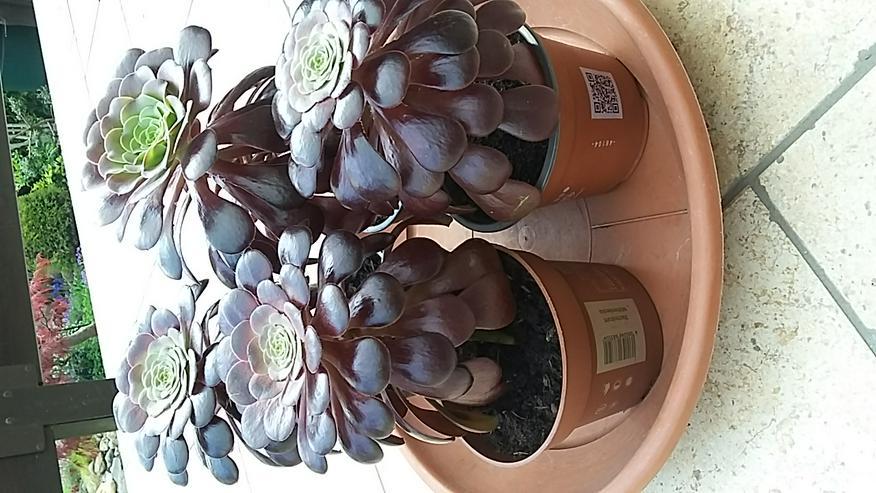 Rosetten-Dickblatt (Aeonium arboreum)