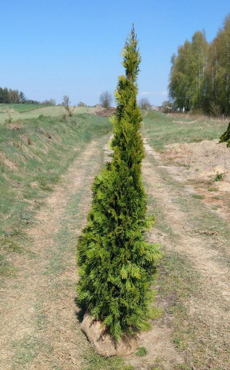 THUJA SMARAGD 175-200CM Lebensbaum Smaragd - Heckenpflanzen Wurzelballen 280EU/10ST Kostenloser Versand Deutschland und Österreich