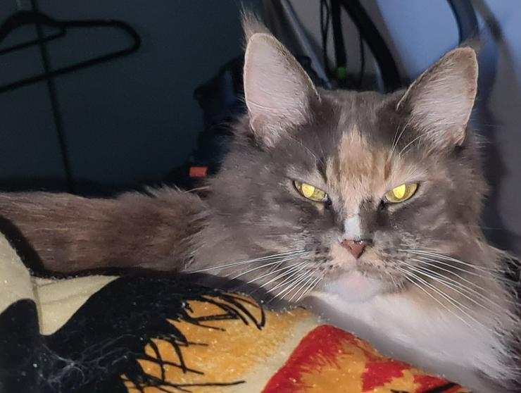 Maine Coon Katze mit Papiere sucht liebevolles zuhause