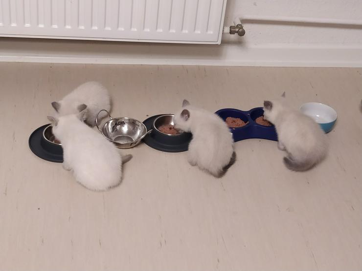 Reinrassige BKH Kitten zu verkaufen: 1 grau männlich und 2 weiße: 1 weiblich und 1 männlich