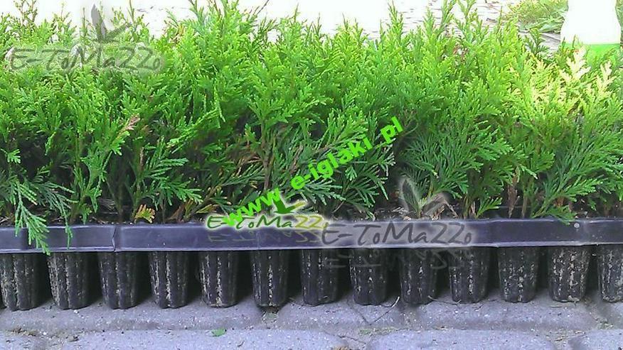 Thuja Smaragd Sämlinge von 15 cm Multiplate