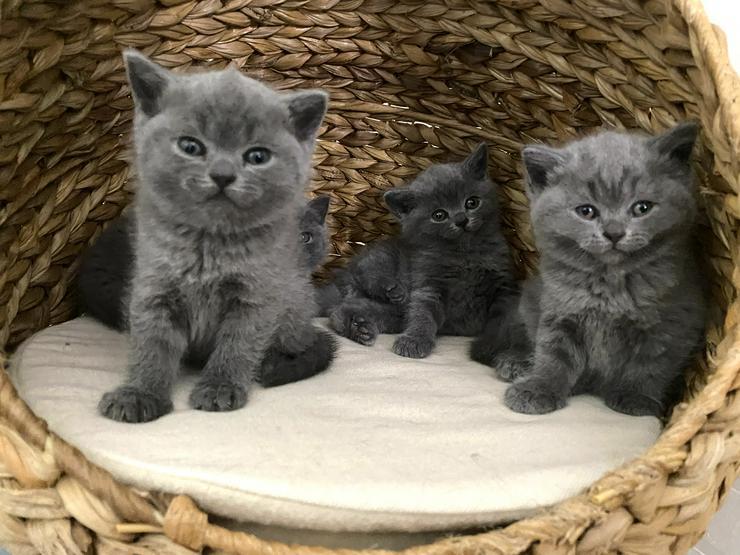BKH Katzenbabies Britisch Kurzhaar Kitten (blue)