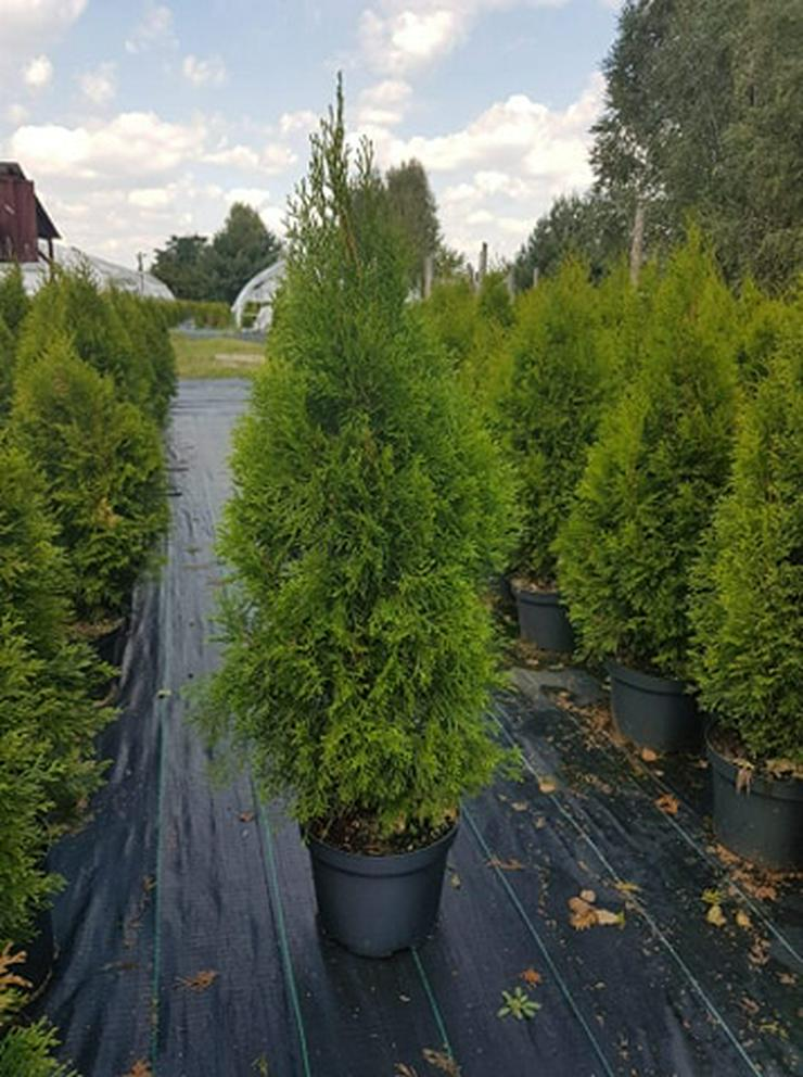 THUJA SMARAGD 70-100CM 3-5L Topf Lebensbaum Smaragd - Heckenpflanzen Kostenloser Versand Deutschland und Österreich - Smaragdgrünen Thuja