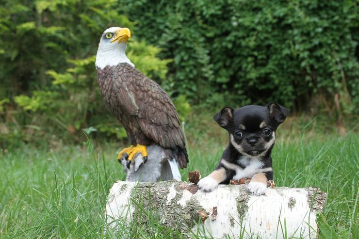 Wunderschöne Chihuahua-Welpen