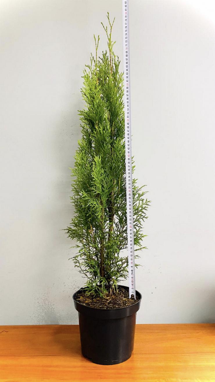 THUJA SMARAGD 70-100CM 3L Topf Lebensbaum Smaragd - Heckenpflanzen Kostenloser Versand Deutschland und Österreich - Smaragdgrünen Thuja