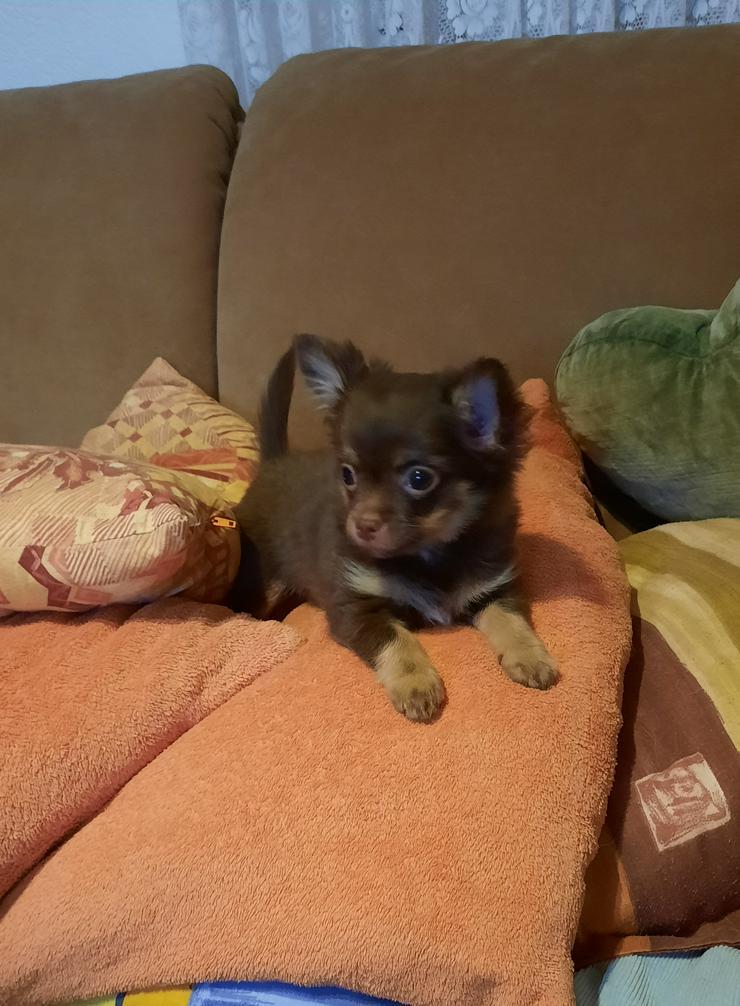 Chihuahuawelpe Rüde, LH, mit Ahnentafel