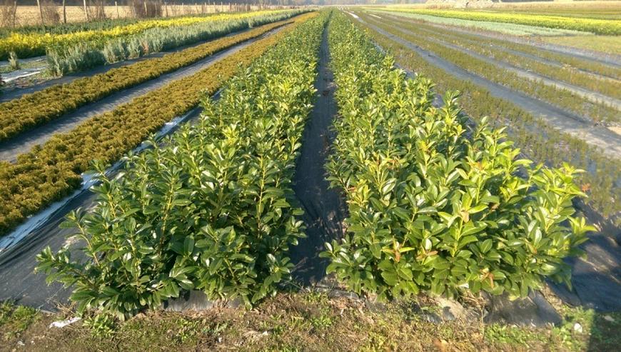 """Lorbeerkirsche """"Rotundifolia'' 30-50cm - Pflanzen - Bild 1"""