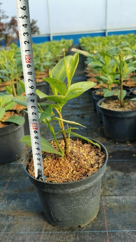 """Lorbeerkirsche """"Rotundifolia'' 10-25cm Topf 2L"""