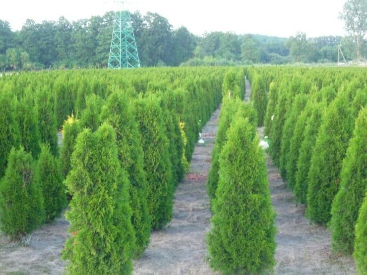 THUJA SMARAGD 180-200CM Lebensbaum Smaragd - Pflanzen - Bild 1