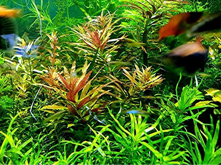 Tannenwedelähnlicher Sumpffreund, RARITÄT, Aquariumpflanzen (Versand/ Abholung)